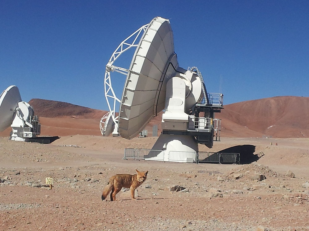 ALMA assumes responsibility for the Flora and Fauna habitat located around the radio telescope facilities, under archaeological advisement with San Pedro de Atacama and Chilean authorities. ALMA was built under a policy of respect for and protection of the existing Flora and Fauna in the area. In this photo: A fox in Chajnantor. Credit: Jaime Guarda – ALMA (ESO/NAOJ/NRAO)