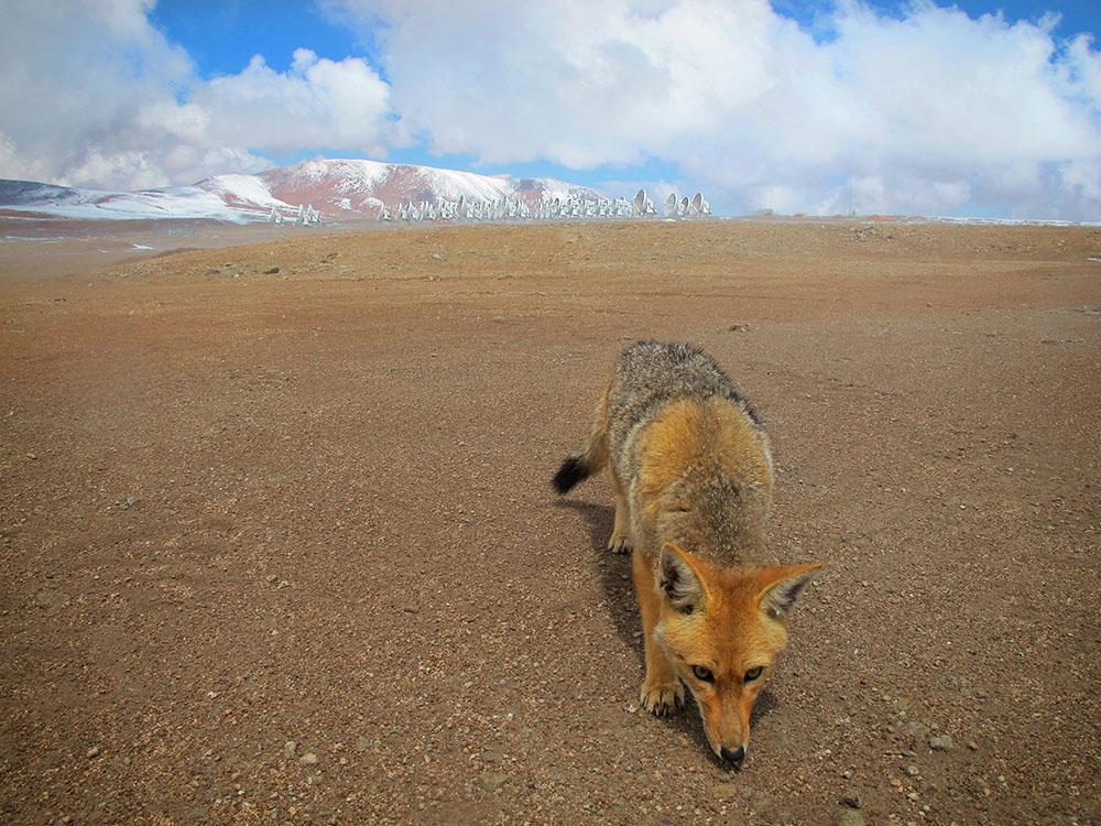 ALMA assumes responsibility for the Flora and Fauna habitat located around the Radio Observatory facilities, under archaeological advisement with San Pedro de Atacama and Chilean authorities. ALMA was built under a policy of respect for and protection of the existing Flora and Fauna in the area. In this photo: A fox in Chajnantor.